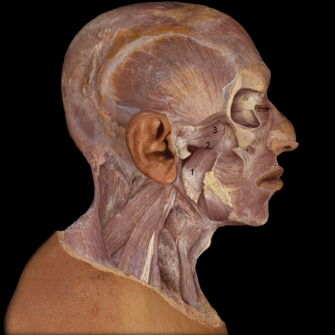 Medial Pterygoid (1), Inferior Lateral Pterygoid (2), Superior Lateral Pterygoid (3)